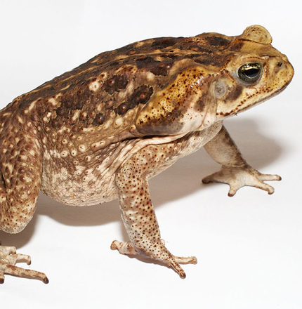 deadly cane toad to keep away from your pets