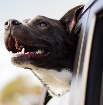 pet traveling with you on the road