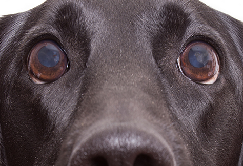 cloudy dog eyes at south tampa veterinary hospital