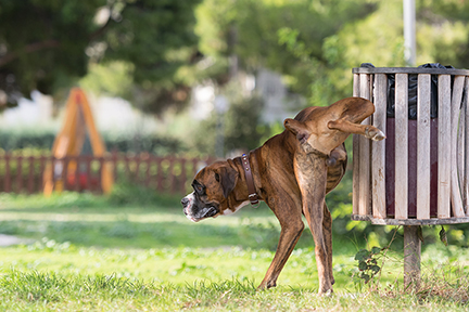 Big dog boxer peeing in a park