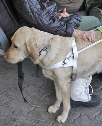 Airlines service animals new rules for service animals for Delta airlines dogs in cabin
