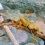 Iguana in habitat